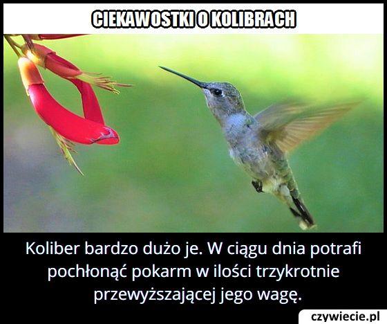 Ile pożywienia w ciągu doby zjada koliber?