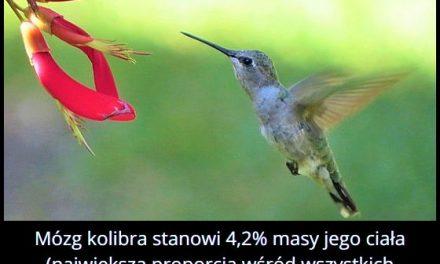 Jaki procent masy ciała kolibra stanowi mózg?