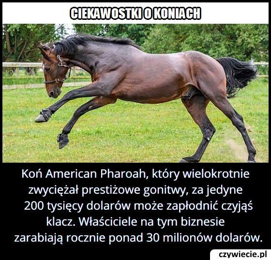"""Koń American Pharoah, który wielokrotnie zwyciężał prestiżowe gonitwy, może zapłodnić czyjąś klacz za """"jedyne""""…"""