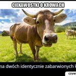 Często zdarzają się identycznie wyglądające krowy?
