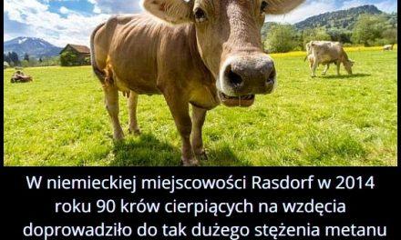 W niemieckiej miejscowości Rasdorf w 2014 roku 90 krów cierpiących na wzdęcia doprowadziło do…