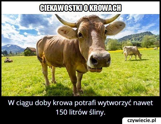 Ile krowa w ciągu doby może wytworzyć śliny?