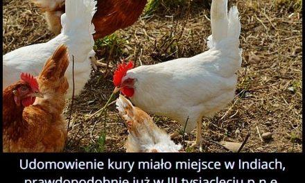 Gdzie i kiedy udomowiono pierwszą kurę?