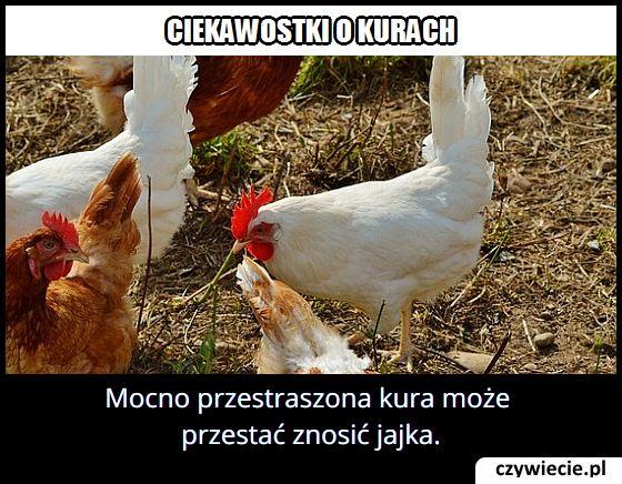 Kiedy kura   przestaje znosić jajka?