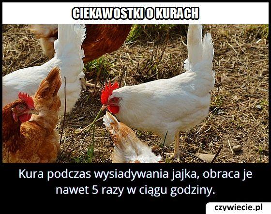 Kura podczas wysiadywania jajka…
