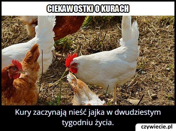W którym tygodniu kury zaczynają nieść jajka?