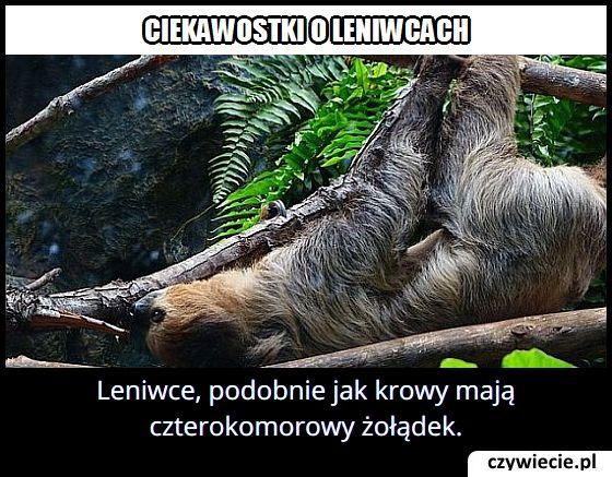 Jaki żołądek mają leniwce?