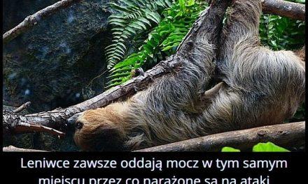 Kiedy leniwce są najbardziej narażone na atak drapieżników?