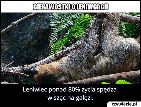 Ile procent   swojego życia spędza leniwiec wisząc na gałęziach?
