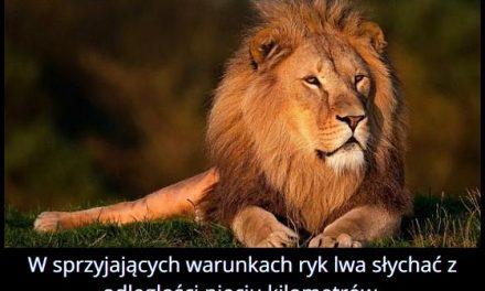 Z jakiej odległości można usłyszeć ryk lwa?