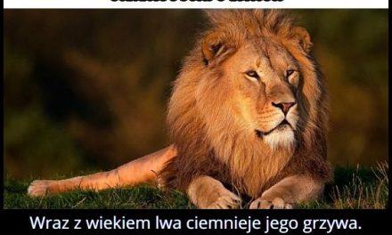 Jak zmienia się wraz z wiekiem grzywa lwa?
