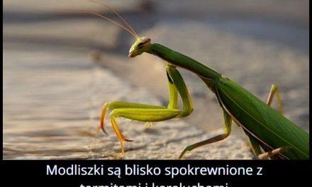 Z jakimi   owadami są blisko spokrewnione modliszki?