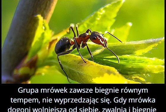 Jak   przemieszczają się mrówki?
