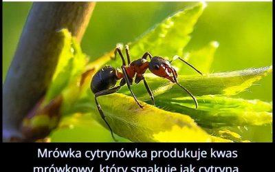 Jak   smakuje kwas produkowany przez mrówkę cytrynówkę?