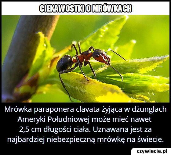 Jaką długość ciała ma jedna z najniebezpieczniejszych mrówek na świecie – paraponera clavata?