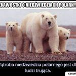 Można zjeść   wątrobę niedźwiedzia polarnego?