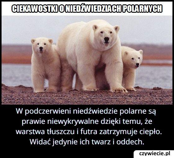 Dlaczego   niedźwiedź polarny jest trudny do wykrycia w podczerwieni?