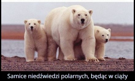 Niedźwiedź   polarny zapada w sen zimowy?