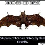 Jako powierzchnię ciała nietoperza stanowią skrzydła?