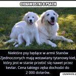 W armii którego kraju psom wstawia się tytanowy kieł?