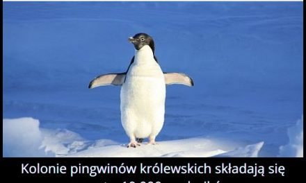 Z ilu   osobników składają się kolonie pingwinów królewskich?
