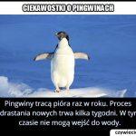 Co jaki czas   pingwiny tracą pióra?