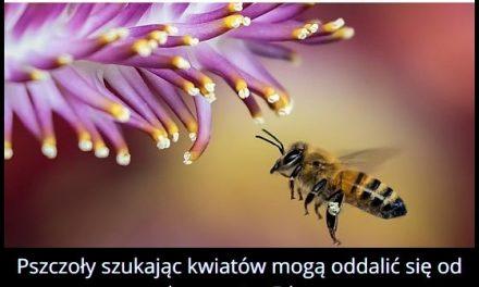 Na jaką odległość mogą oddalić się pszczoły od ula?