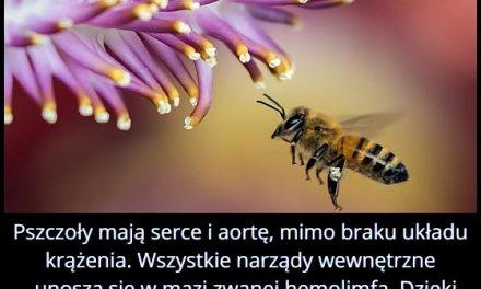 Dlaczego pszczoła nie może umrzeć na zawał?