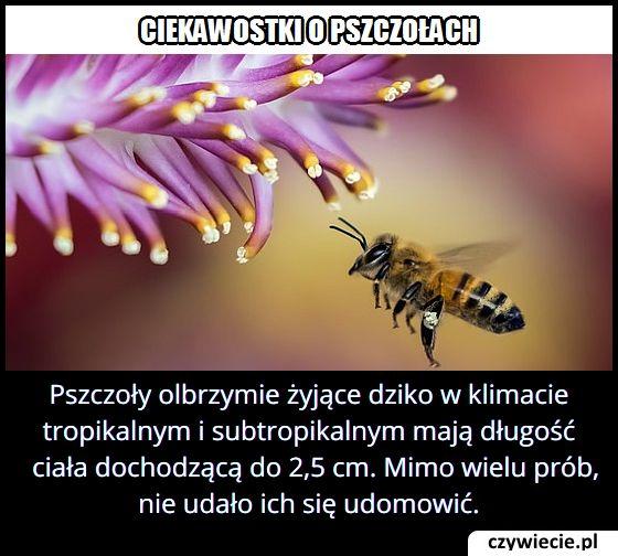 Jakiej wielkości są pszczoły olbrzymie?
