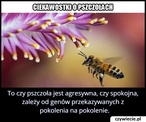 Co wpływa na poziom agresji pszczół?