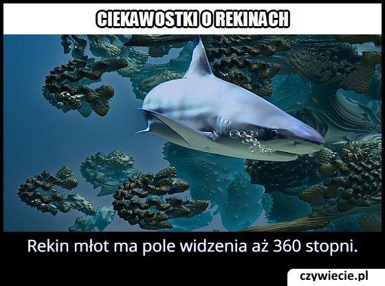 Jakie pole widzenia ma rekin młot?