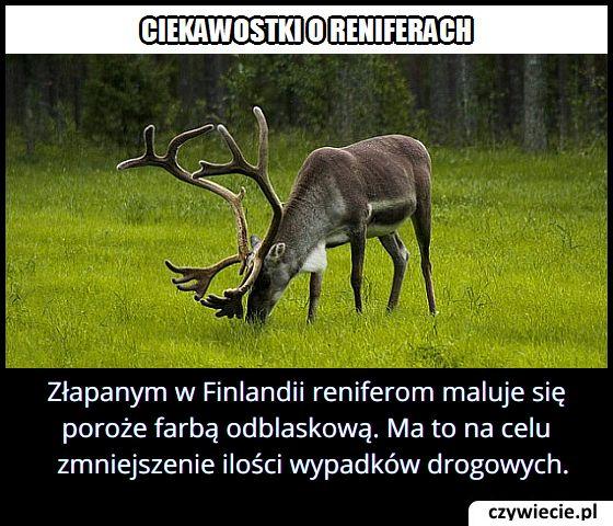 Złapanym w Finlandii reniferom maluje się poroże farbą odblaskową?