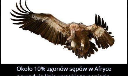Ile procent sępów w Afryce ginie od uderzenia w linie wysokiego napięcia?