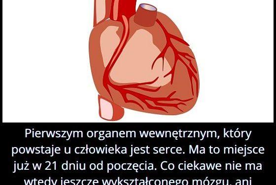 Który organ u   człowieka powstaje pierwszy?
