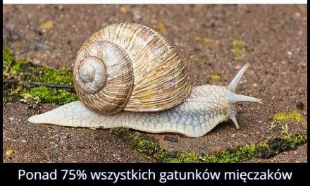 Jaki procent wszystkich mięczaków stanowią ślimaki?