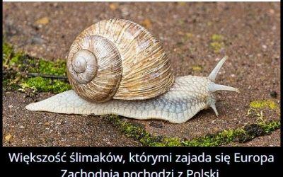 Skąd pochodzi   większość ślimaków zjadanych w Europie Zachodniej?