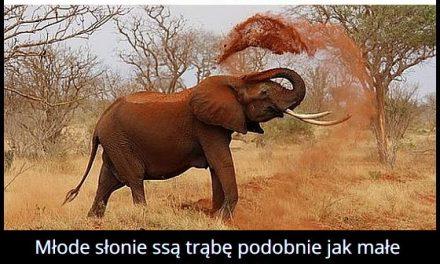 Dlaczego młode słonie ssą swoją trąbę?