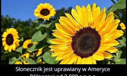 Kiedy zaczęto uprawiać słonecznik w Ameryce Północnej?