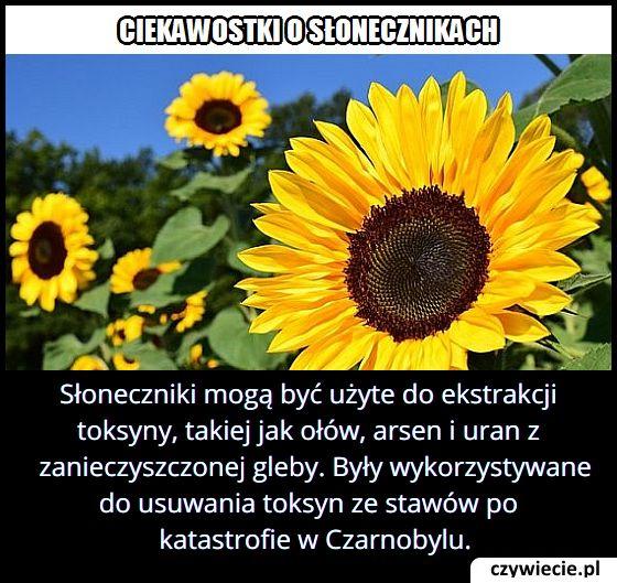 Która roślina wykorzystywana była do usuwania toksyn ze stawów po katastrofie w Czarnobylu?