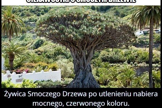 Jaki kolor ma żywica Smoczego Drzewa?