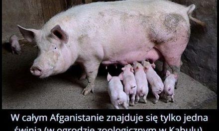 Ile świń jest w Afganistanie?