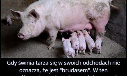 Dlaczego świnie tarzają się w swoich odchodach?