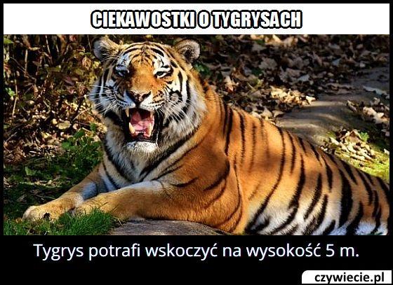 Na jaką wysokość potrafi wyskoczyć tygrys?