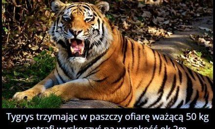 Na jaką   wysokość potrafi wyskoczyć tygrys z ofiarą ważąca 50 kg?