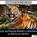 Dźwięk o   jakiej częstotliwości potrafi usłyszeć tygrys?