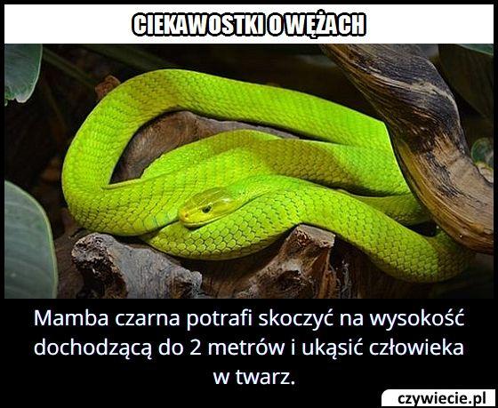 Który wąż potrafi wyskoczyć na 2 metry w górę?