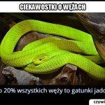 Ile procent   węży jest jadowitych?