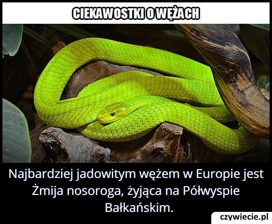 Jaki jest   najbardziej jadowity wąż w Europie?