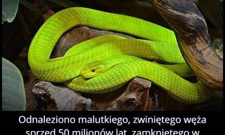 W jakim minerale znaleziono węża sprzed 50 milionów lat?