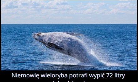 Ile litrów   mleka dziennie pije niemowlę wieloryba?